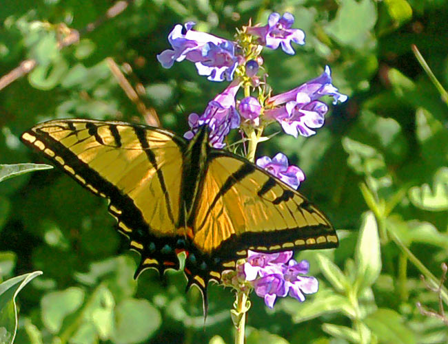 butterfly on a wasatch penstemon